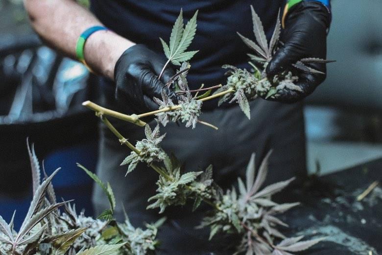 Comment savoir si vos fleurs de cannabis sont prêtes pour la récolte