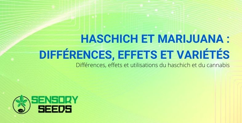 Les différences entre les effets et les variétés de haschich et de marijuana