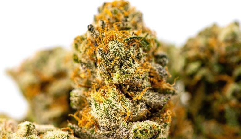 Fleurs de marijuana séchées dont est dérivé le haschisch