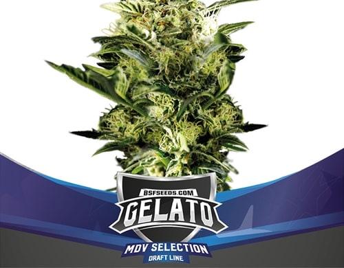 Graines de cannabis Gelato XXL Auto