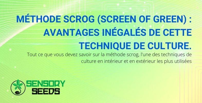 Une technique de culture du cannabis très largement utilisée est la méthode du scrOG.