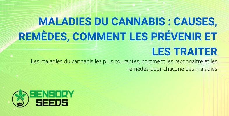 Les maladies du cannabis : causes, remèdes, cures.