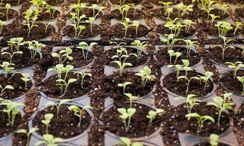 Qu'est-ce que la phase de plantation et quand se produit-elle ?