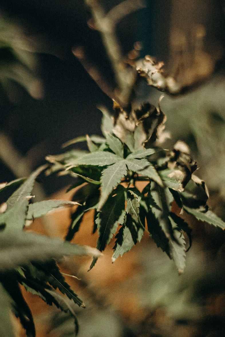 Un plant de cannabis malade du botrytis