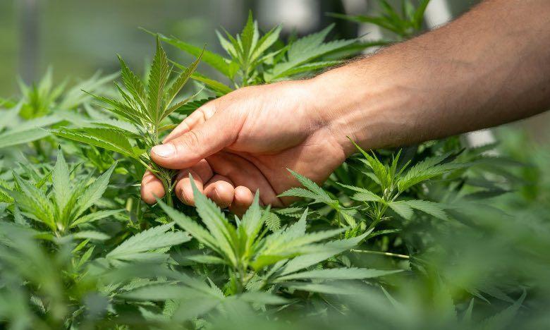 Cultivateur analysant un plant de cannabis