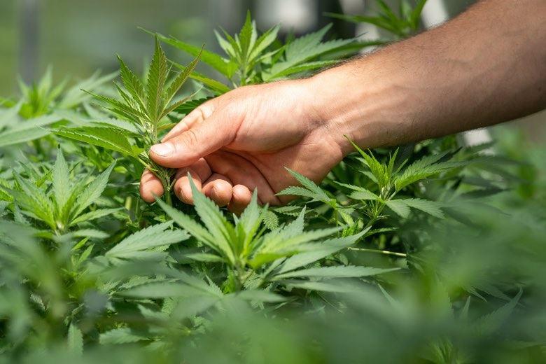 Un producteur de cannabis teste l'hermaphrodisme d'une plante