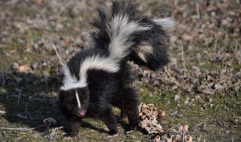 Le sens du mot Skunk est Skunk
