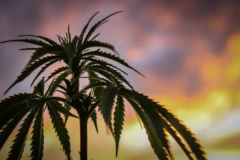 Cannabis sativa : différence avec l'indica
