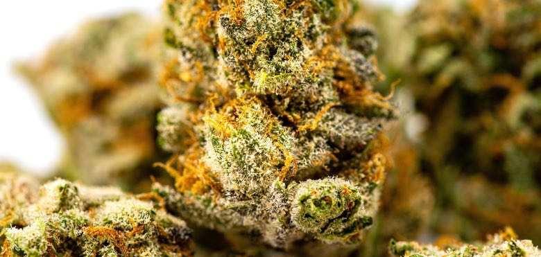 Une fleur de cannabis avec des trichomes matures