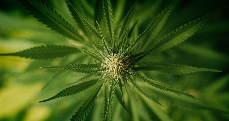 Stade de floraison précoce du cannabis à autofloraison