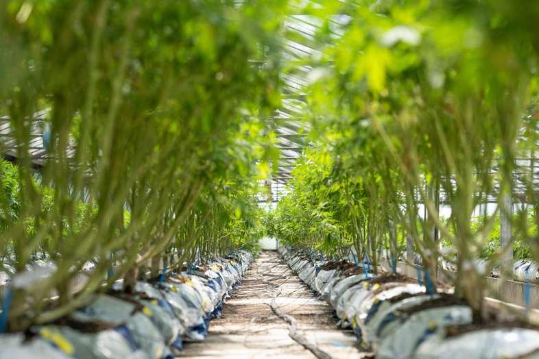 Plants de cannabis défoliés