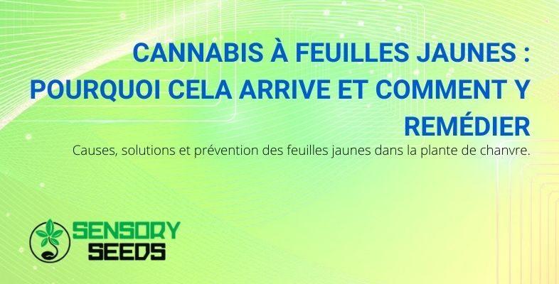 Causes et solutions du jaunissement des feuilles de cannabis