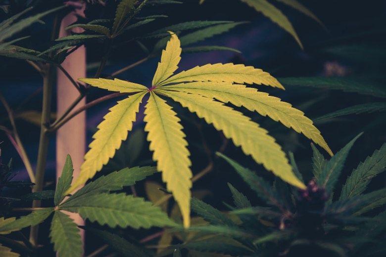 Causes des feuilles jaunes de la plante de cannabis
