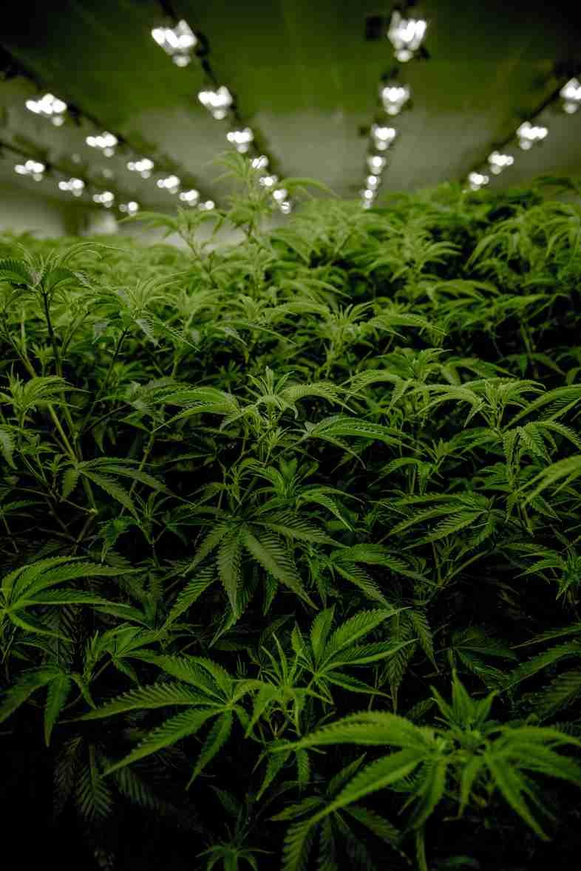 Cultivez des graines de cannabis et ne commettez aucun crime