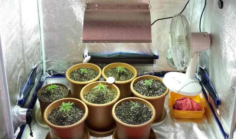 Une culture rudimentaire de graines de cannabis