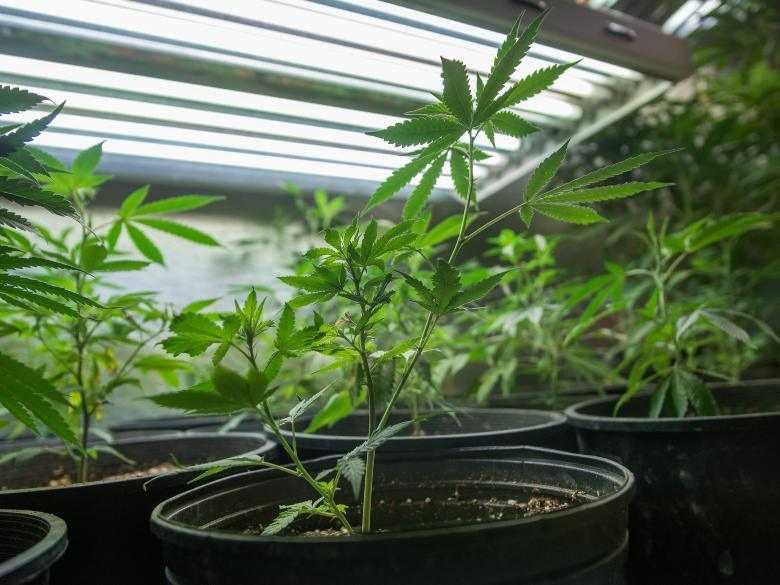 Faire germer des graines de cannabis