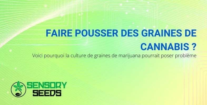 C'est pourquoi démarrer une culture de cannabis peut être problématique