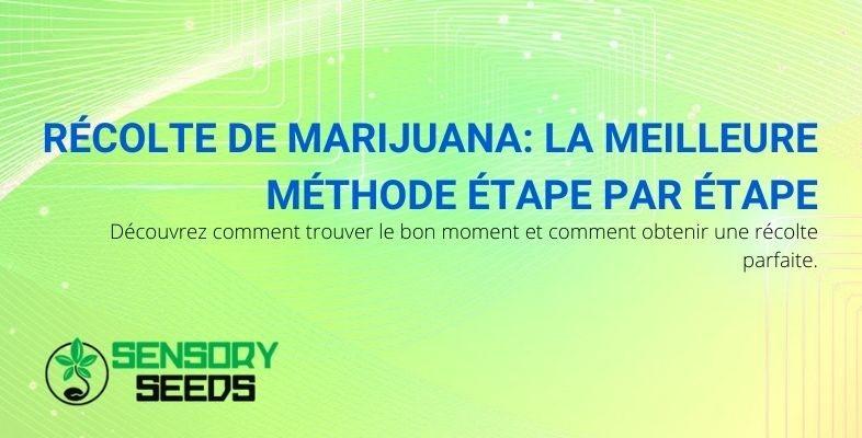 La meilleure méthode, étape par étape, pour récolter la marijuana