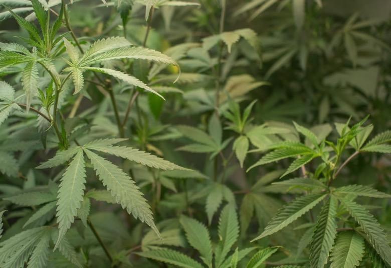 Plante de graines de cannabis à autofloraison