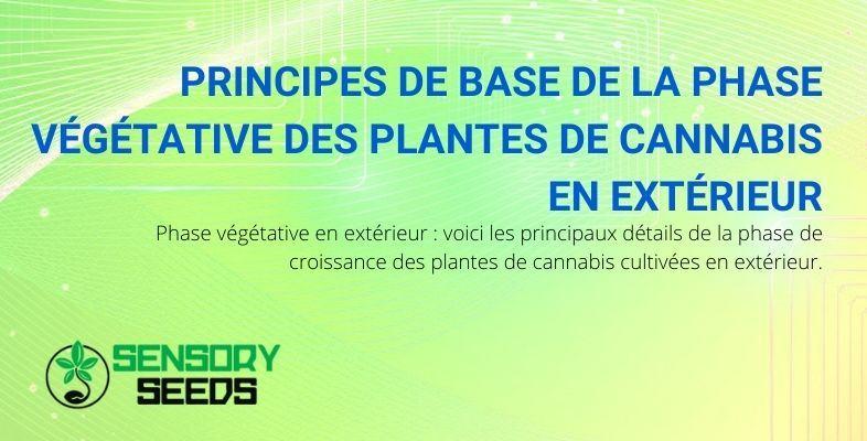 Les principes de base de la phase végétative du cannabis en extérieur