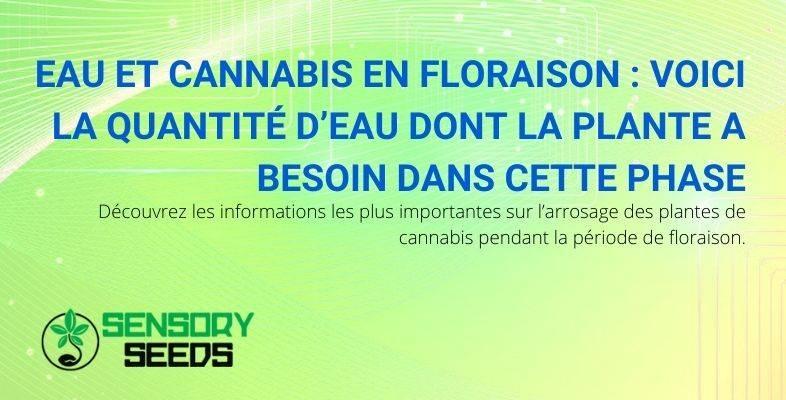 Découvrez la quantité d'eau dont la plante de cannabis a besoin pendant la phase de floraison.