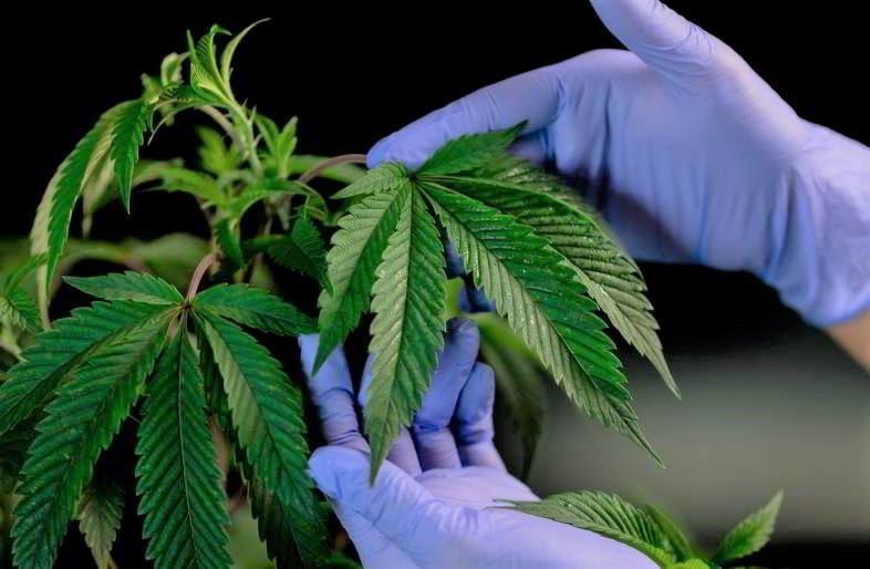 Guide de culture de marijuana en intérieur.