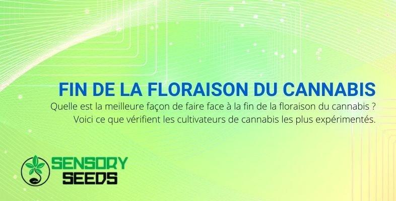 Comment se comporter dans la phase finale de floraison du cannabis