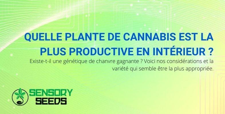 Quelle est la plante de cannabis d'intérieur la plus productive ?