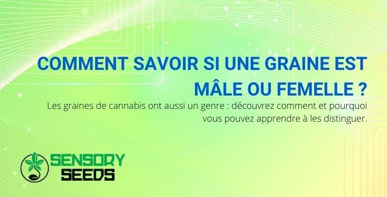 Comment reconnaître une graine de cannabis mâle ou femelle ?