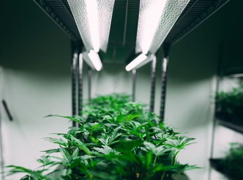 Quelle est la plante de chanvre d'intérieur la plus productive