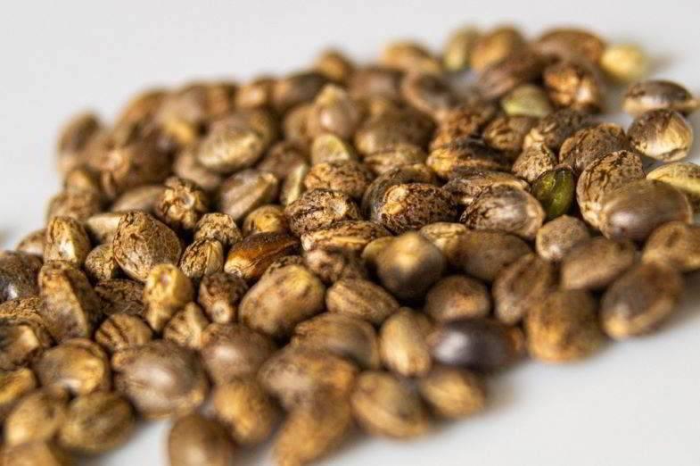 Comment savoir si les graines de Marie sont bonnes