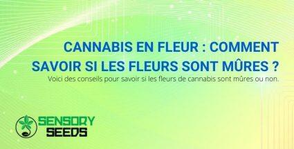 Comment savoir quand les fleurs de cannabis sont mûres ?
