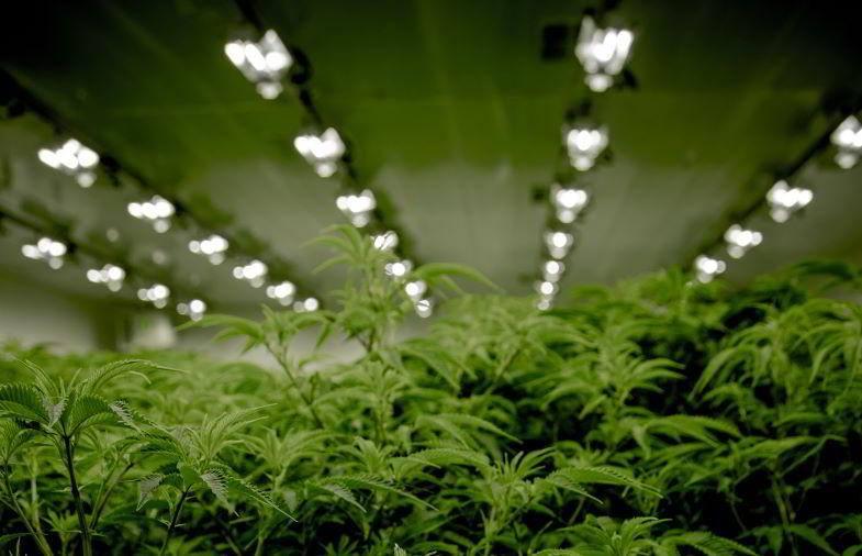 Éclairage intérieur de marijuana