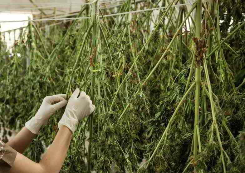 Des plants de cannabis suspendus pour le séchage